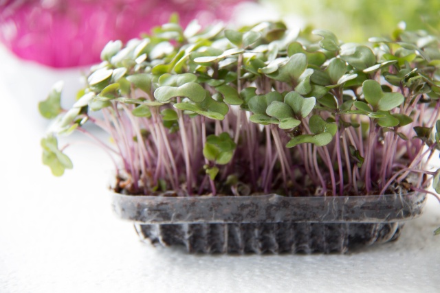 Garden cress organic sprouting seedlings